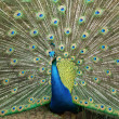 Stock Photo: Peacock displaying plumage