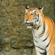 Stock Photo: Tiger ,big cat in jungle