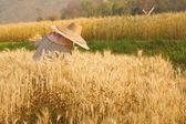 Farmer harvesting paddy in Wheat field — Stock Photo