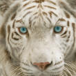 Close up albino tiger face — Stock Photo #24966839