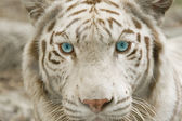Close up albino tiger face — Stock Photo