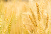 Closeup Golden wheat seed — Stock Photo