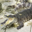 Stock Photo: Wildlife crocodile