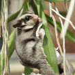 Stock Photo: Sugarglider climb on tree