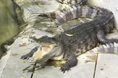 Crocodile de la faune — Photo