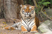 Portrait of Bengal tiger — Stock Photo