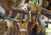 Squirel Monkey ,Saimiri sciureus — Stock Photo