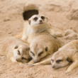 Stock Photo: Group of meerkat sleep on sand.