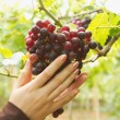 Woman Inspecting  Ripe Grapes Ready For Harvest — Stock Photo