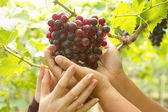 Woman's hands holding grapes — Stock Photo