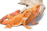 Two Bearded Dragon — Stock Photo