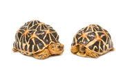 Two Indian Starred Tortoise — Stock Photo