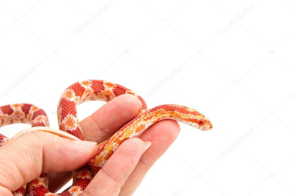 Albino Corn Snake Albino Corn Snake in Hand on
