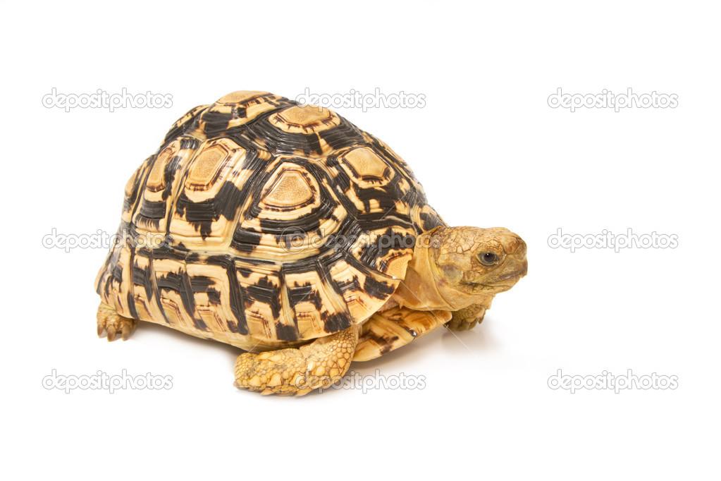 African Sulcata Tortoise Habitat African Spurred Sulcata Tortoise Geochelone Sulcata on White Background