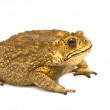Toad Isolated on White Background — Stock Photo #28943645