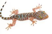 Gecko — Foto de Stock