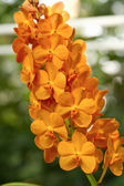 Orange Orchid ,Ascocenda orchid — Stockfoto
