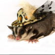 Young sugar glider with fashion hat ,isolate — Stock Photo #30271323