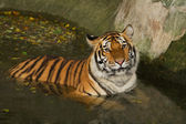 Tiger swiming in the pond — Stock Photo