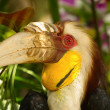 Closeup Wreathed Hornbill — Stock Photo