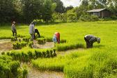 泰国农夫制备水稻幼苗种植 — 图库照片