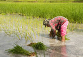 水田水稲農地に栽植タイの農夫 — ストック写真