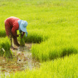 Thai farmer preparation rice seedlings for planting  — Stock Photo