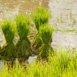 Thai style rice grow — Stock Photo #31409571