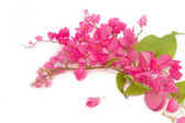 Coral Vine or Antigonon leptopus Hook flower (chain of love) — Stock Photo