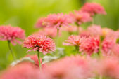 Garden of beautiful pink zinnia (selective focus) — ストック写真