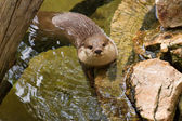 Oriental Short-Clawed Otter (amblonyx cinereus) swimming — Foto de Stock
