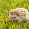 Stock Photo: Hedgehog , Africpygmy hedgehog