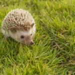 Hedgehog in the garden , African pygmy hedgehog — Stock Photo #35979663