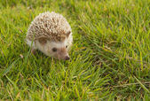 Hedgehog in the garden , African pygmy hedgehog — Stock Photo