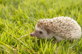 Hedgehog , African pygmy hedgehog — Photo