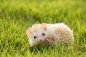 Little Hedgehog in the green grass — Stock Photo