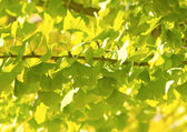 Ginkgo Biloba, green leaf background — Foto Stock
