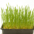 Stock Photo: Growth wheat