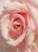 Softness pink rose background — Stock Photo