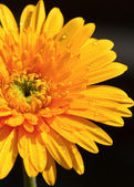 Yellow gerbera flower,isolate — Stock Photo
