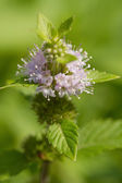 Peppermint (Mentha piperita) — Stock Photo