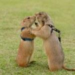 Prairie dogs getting a kiss — Stock Photo