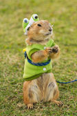 Prairie dogs dress up as a green frog standing upright on field — Stock Photo