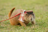 Prairie dogs dress up in western clothes and hat on field — Stock Photo