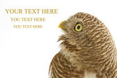 Collared owlet — Stock Photo