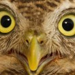 Stock Photo: Golden eyes of collared owlet, select focus