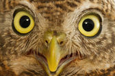 Golden eyes of collared owlet, select focus — Stockfoto