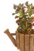 Folhagem colorida de coleus, planta de casa — Foto Stock