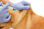 Closeup Vet giving injection the dog — Stok fotoğraf