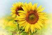 Sunflowers on field in summer — Stock Photo